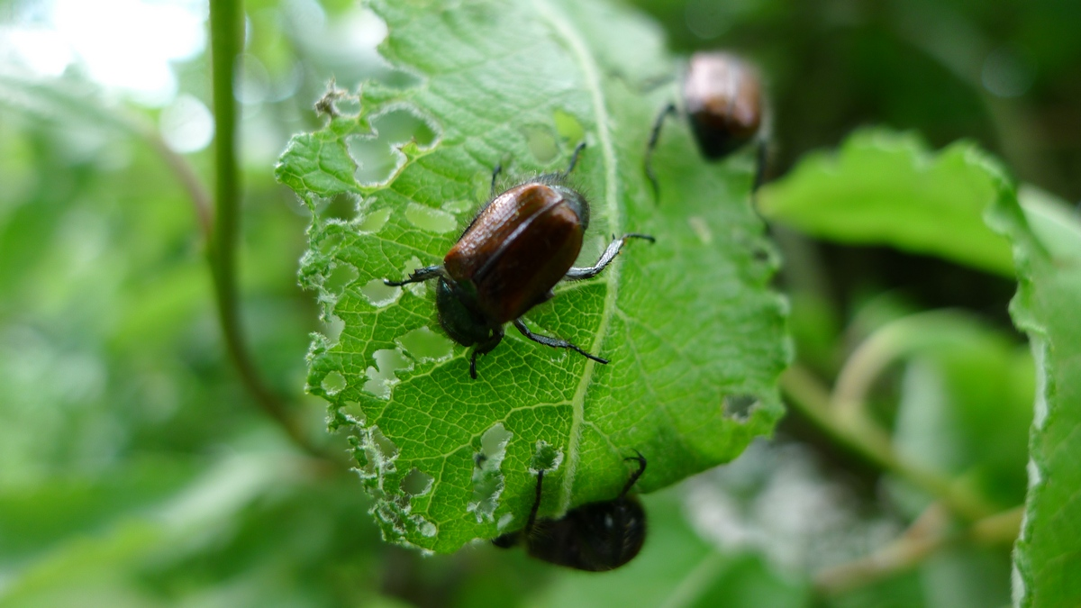 chrząszcz niszczylistek